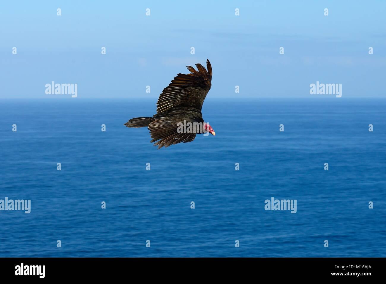 Turkey vulture (Cathartes aura) in flight over the sea, Región de Antofagasta, Chile - Stock Image