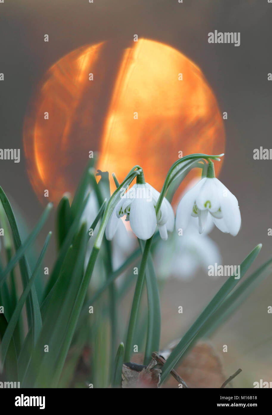 Snowdrops (Galanthus nivalis), sun in the back, National Park Harz, Saxony-Anhalt, Germany - Stock Image