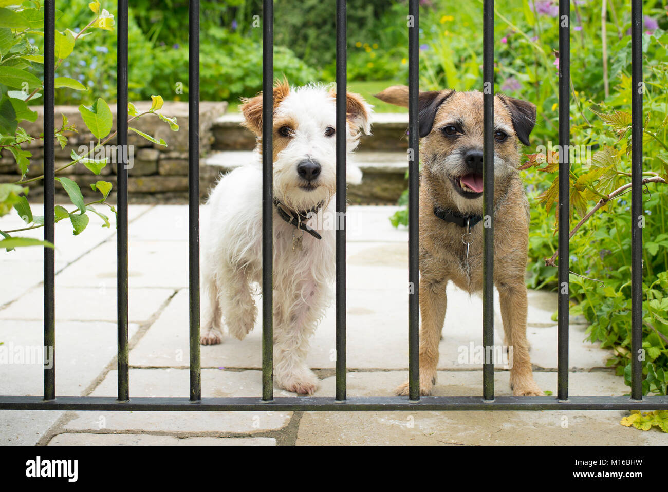 Best friends - two cute terriers, dog friends chilling out together behind bars of a garden gate. Left - Jack Russell - Stock Image