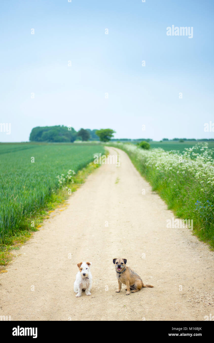 Best friends - two terriers, dog friends out for a walk together. Left - Jack Russell terrier, right - Border Terrier, - Stock Image