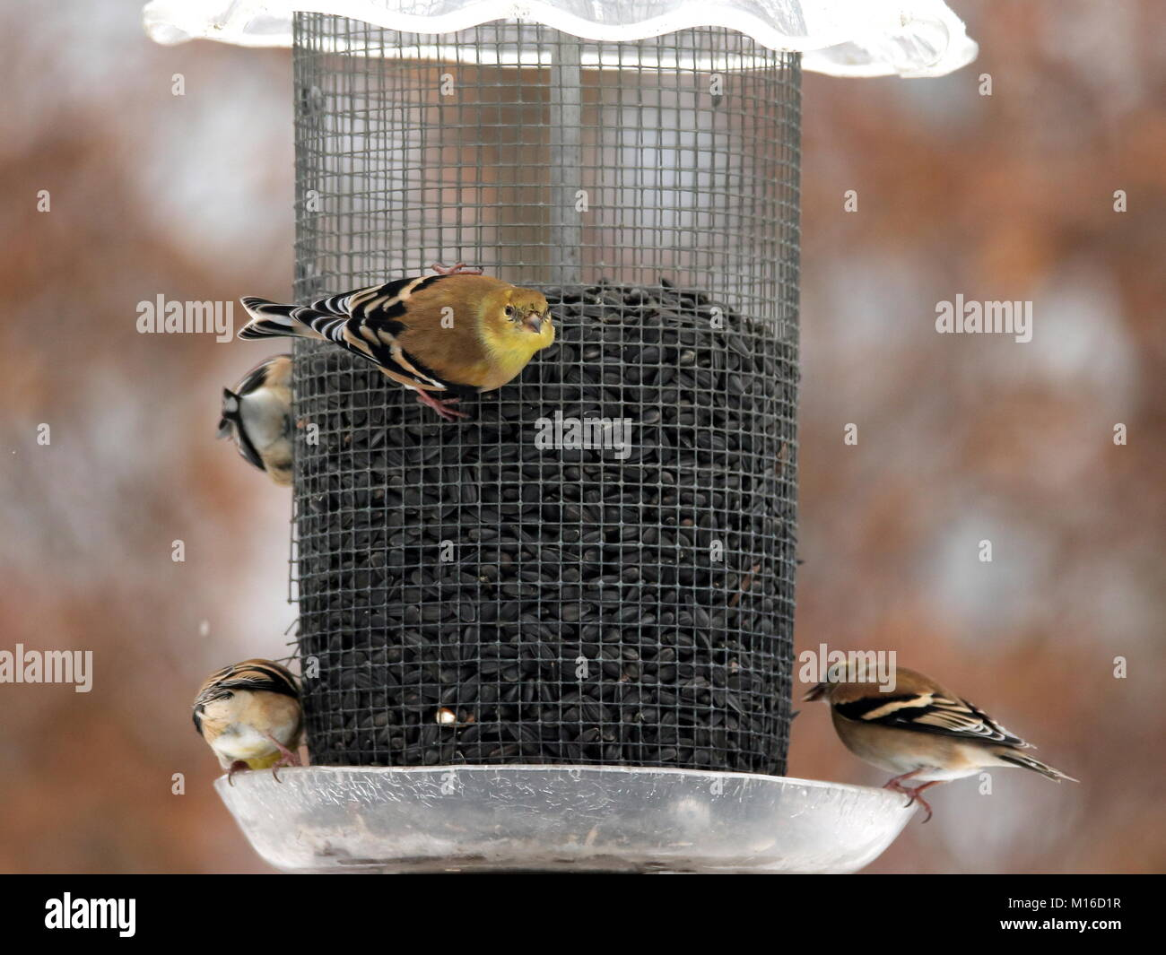 American Goldfinches feed in our backyard year-round. A flock eating sunflower seed. Stock Photo