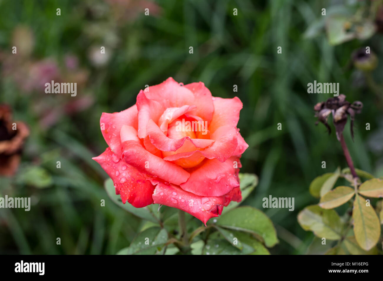 Early Morning Beautiful Rose Flower Garden Dew On Roses With