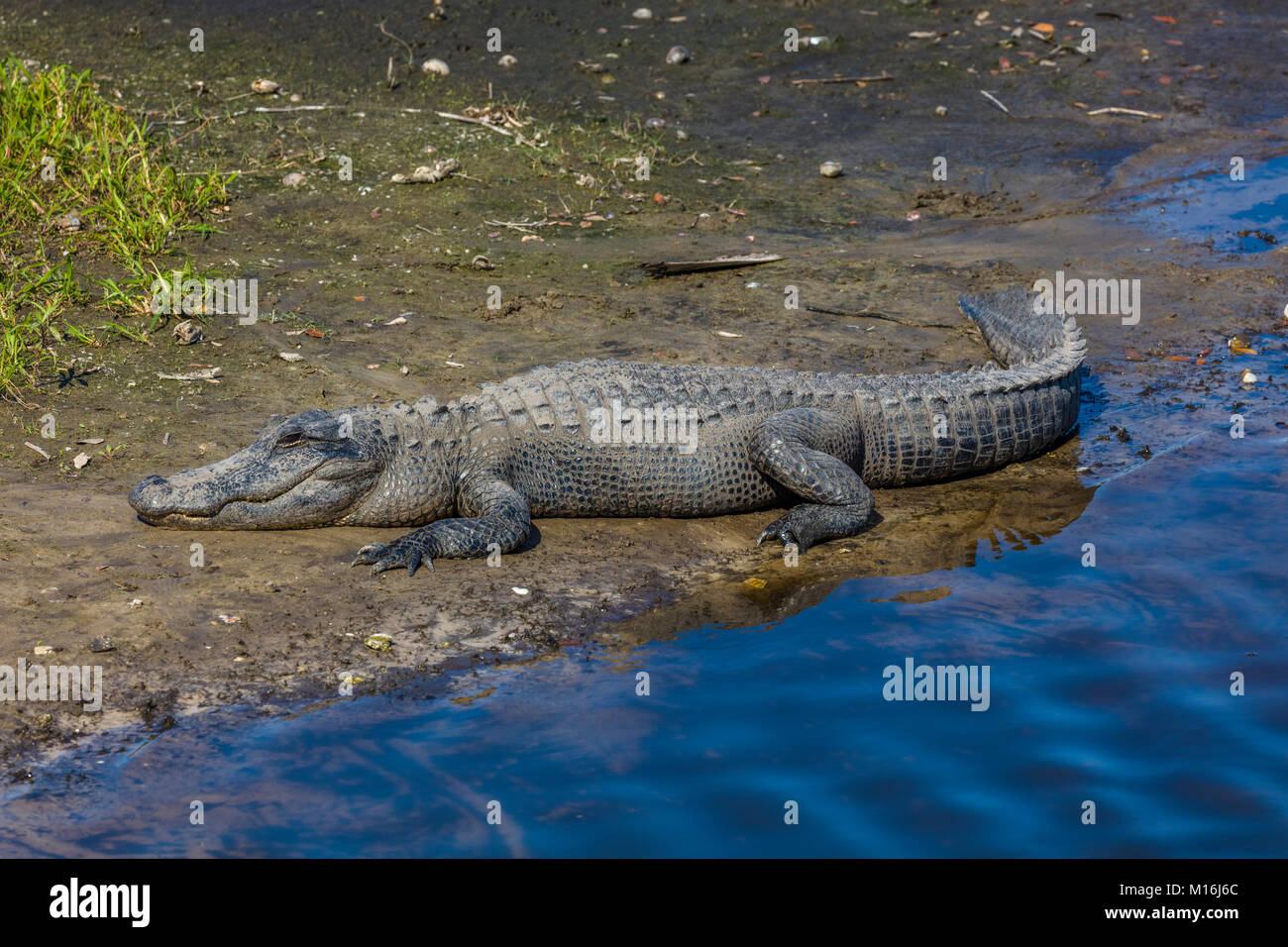 Alligator on bank of Myakka River in Myakka River State Pak in Sarsaota Florida in the United States - Stock Image