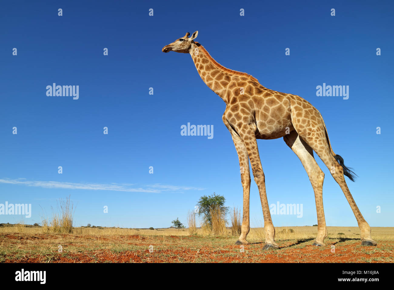 Low-angle view of a giraffe (Giraffa camelopardalis) against a blue sky, South Africa - Stock Image