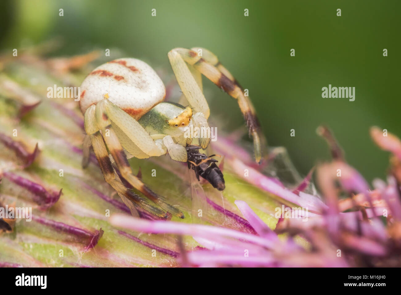 Crab Spider (Misumena vatia) siting on a thistle with its prey. Thurles, Tipperary, Ireland. - Stock Image
