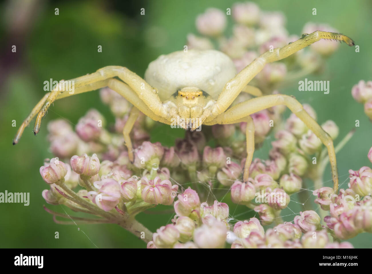 Frontal view of a Crab Spider (Misumena vatia) in defensive mode resting on an umbellifer. Cahir, Tipperary, Ireland. - Stock Image