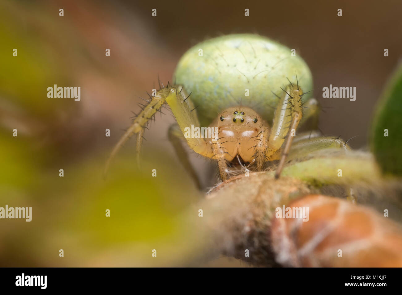 Cucumber Green Orb Spider (Araniella sp.) resting on the branch of a Beech tree. Cahir, Tipperary, Ireland. - Stock Image