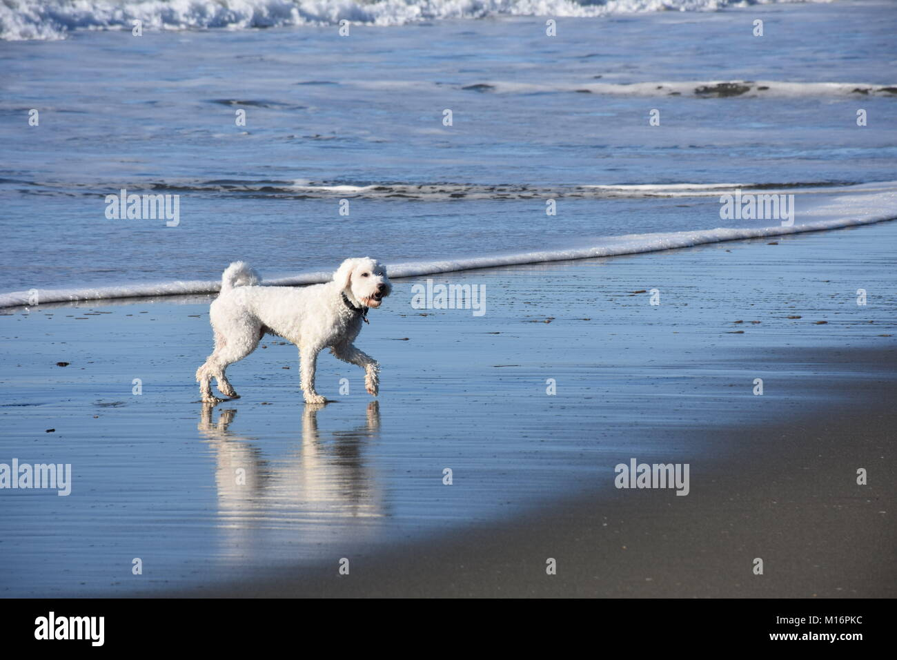 White Cockapoo playing in waves on a sunny, sandy beach Stock Photo