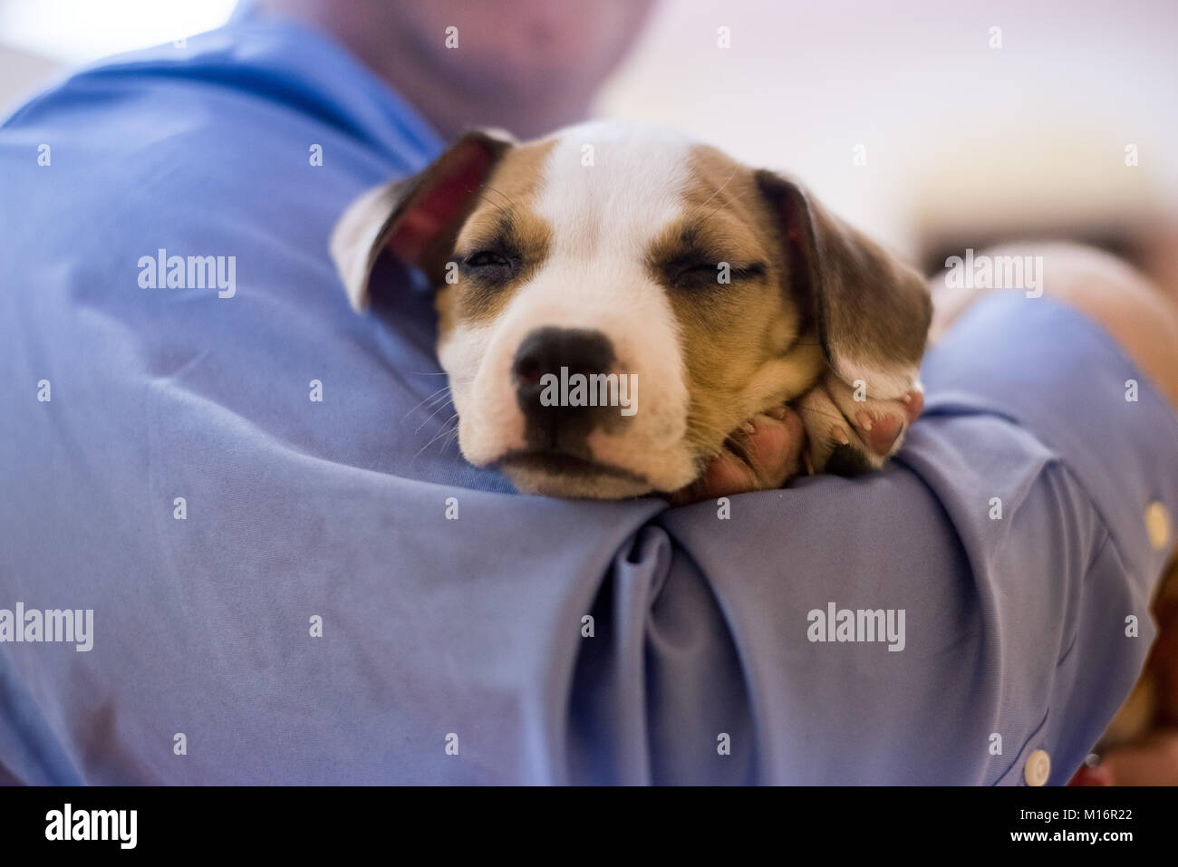 A man holds a sleeping 7 week old Beagle mix puppy. - Stock Image