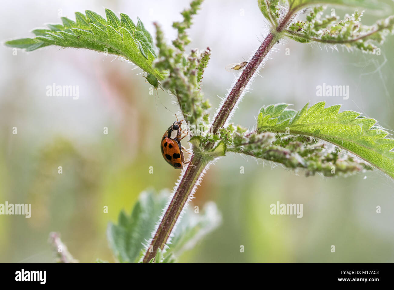 Ladybird on plant  stem. Close up in frame with out of focus background - Stock Image