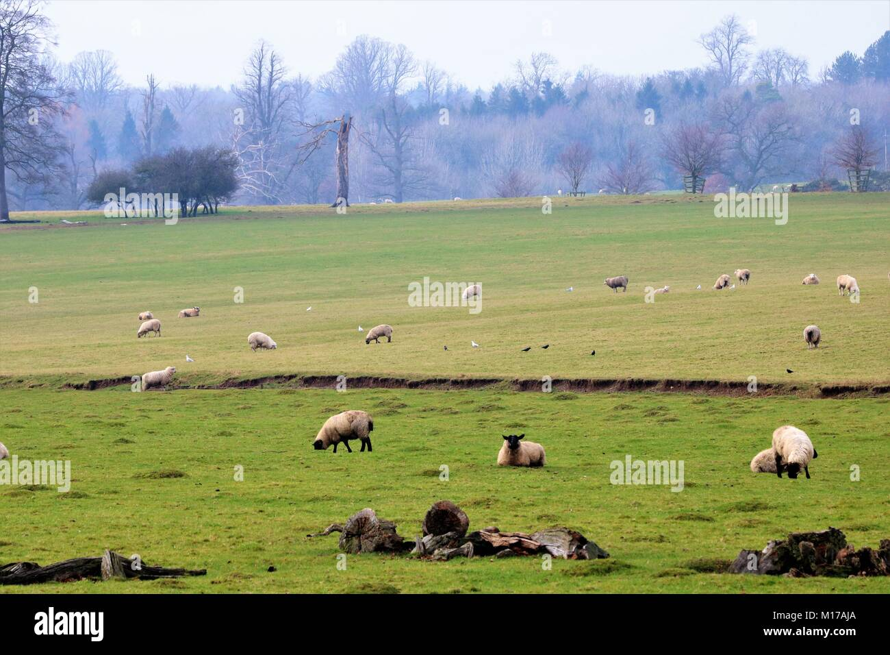 Green field full of sheep grazing in the winter sunshine in UK - Stock Image