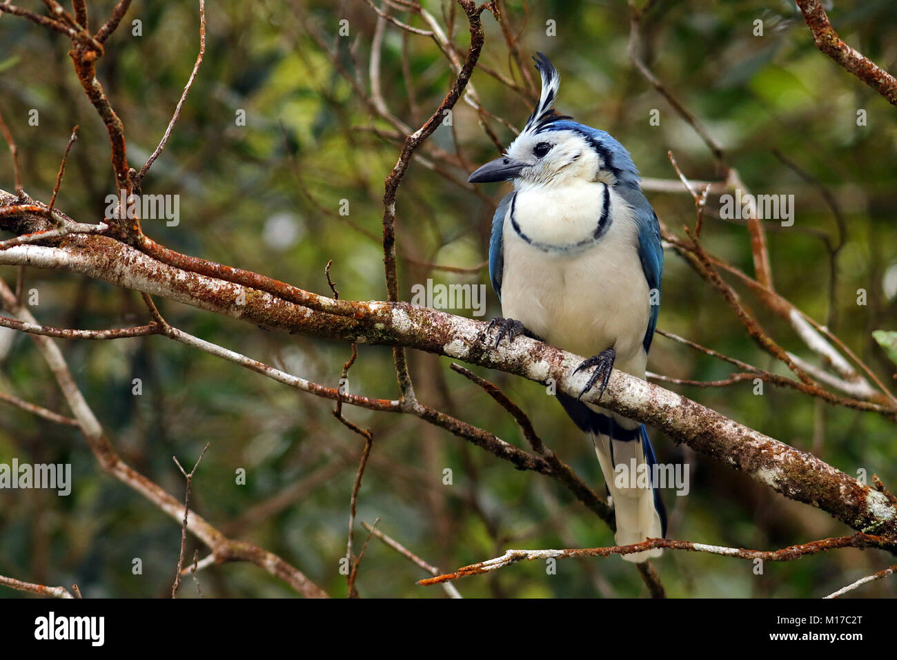 White-throated Magpie Jay (Calocitta formosa) sitting on a branch in the Arenal Volcano National Park in northern - Stock Image