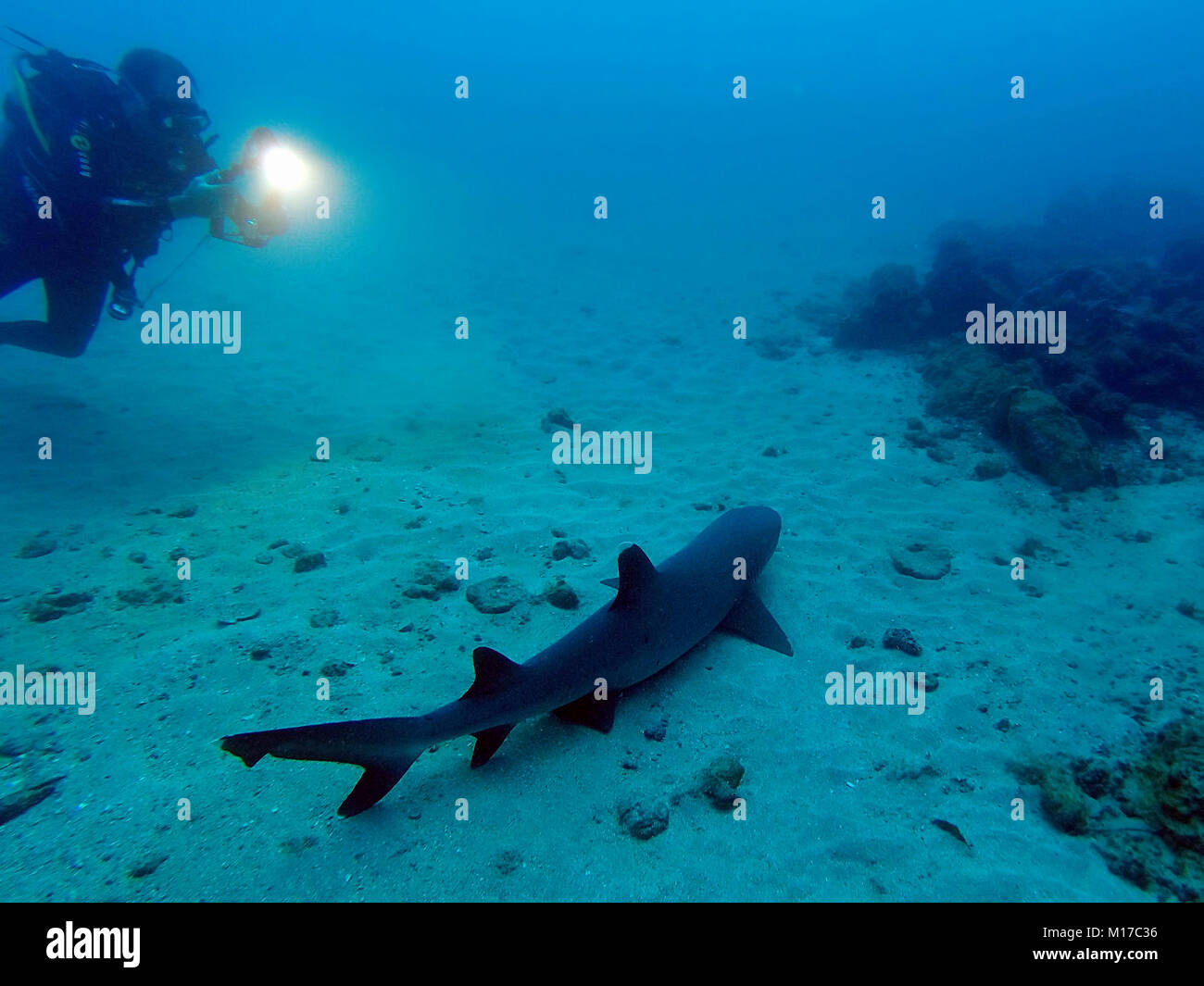 Underwater photograph of a wild Whitetip Reef Shark (Triaenodon obesus) with another diver taking a photo at Isla - Stock Image