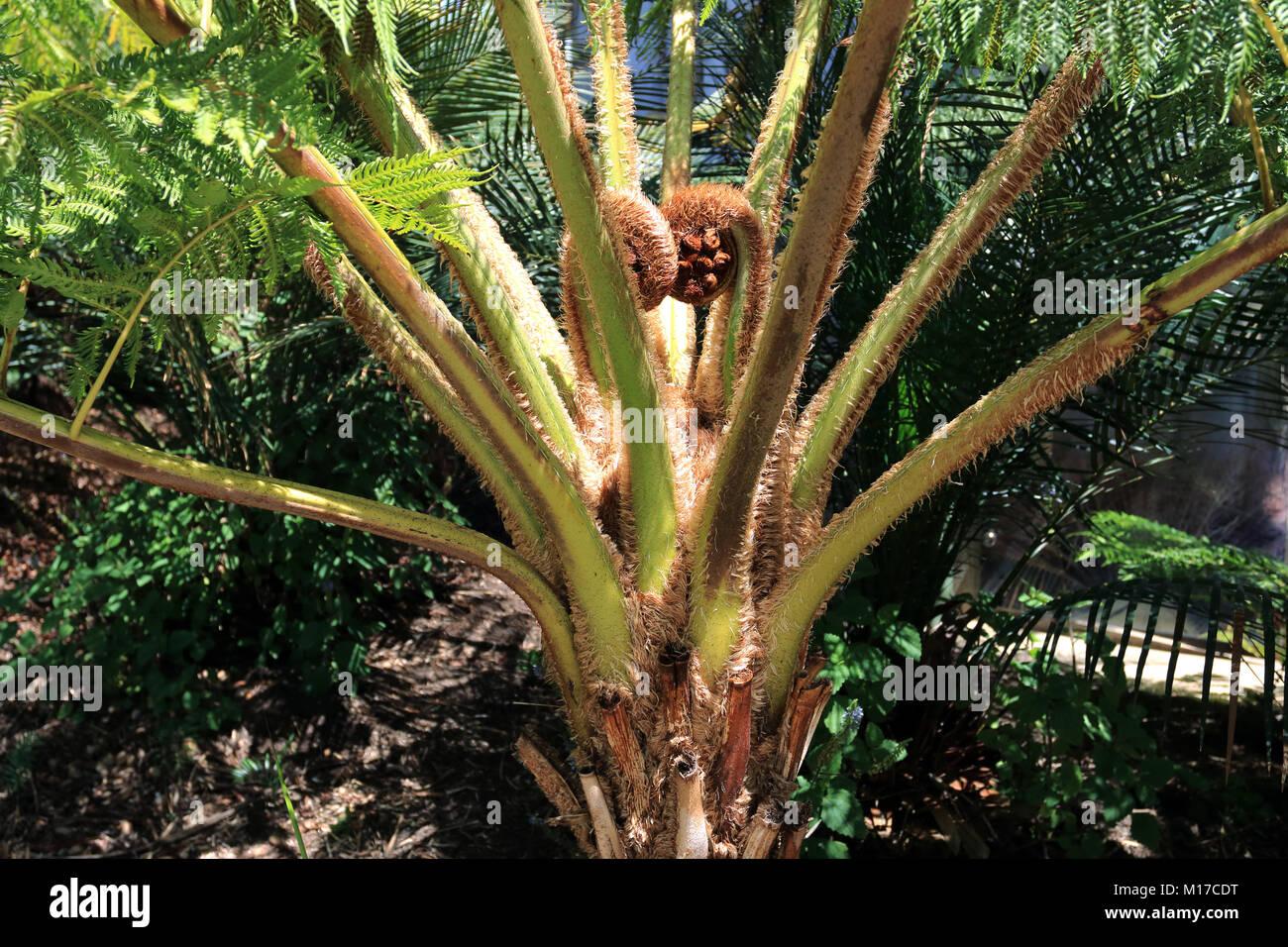 Cyathea cooperi or Australian tree fern - Stock Image
