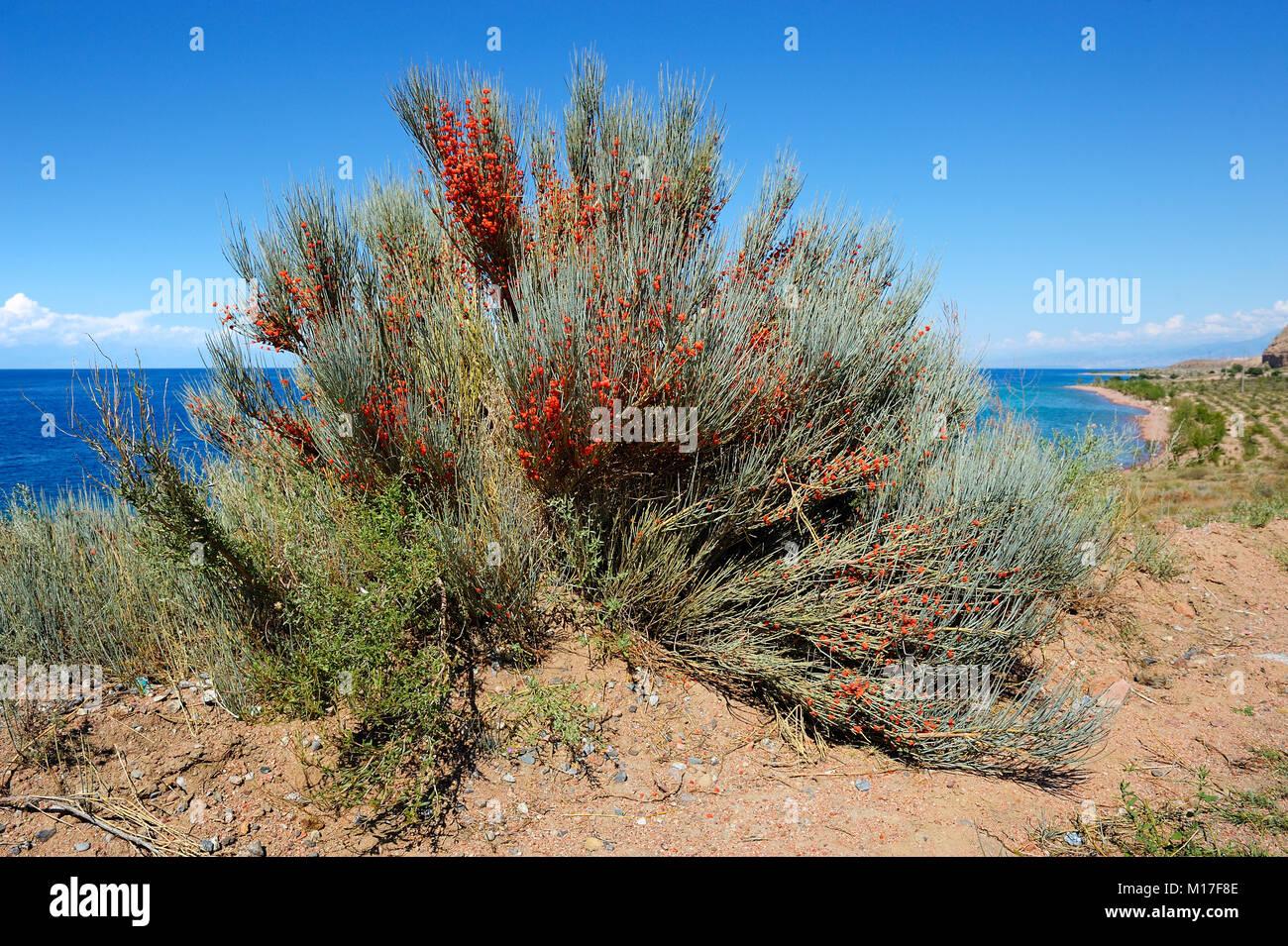 Ephedra equisetina with berries - Stock Image
