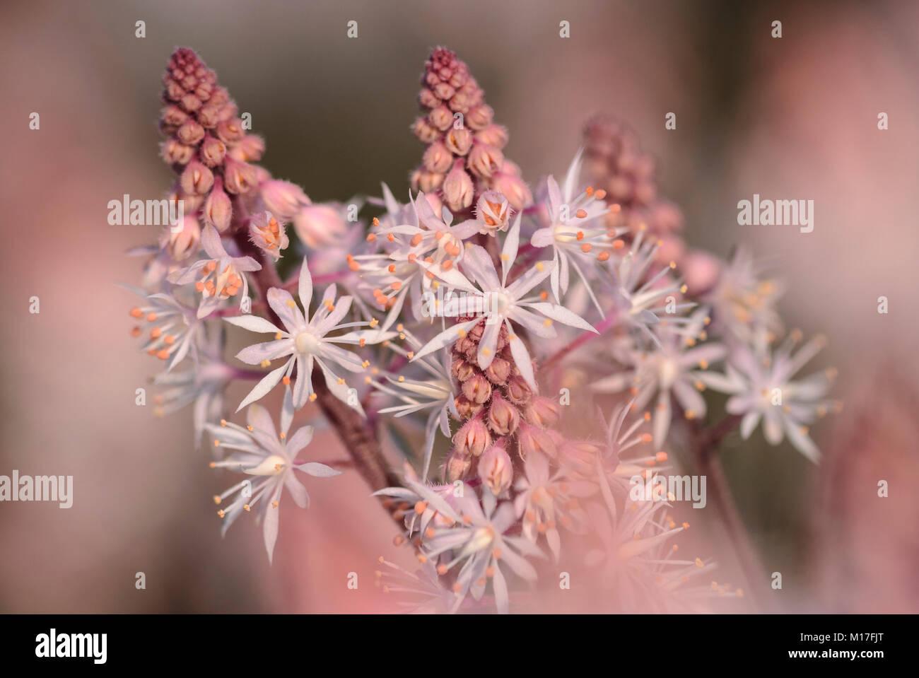 Tiarella Hybriden - Schaumblüte Stock Photo