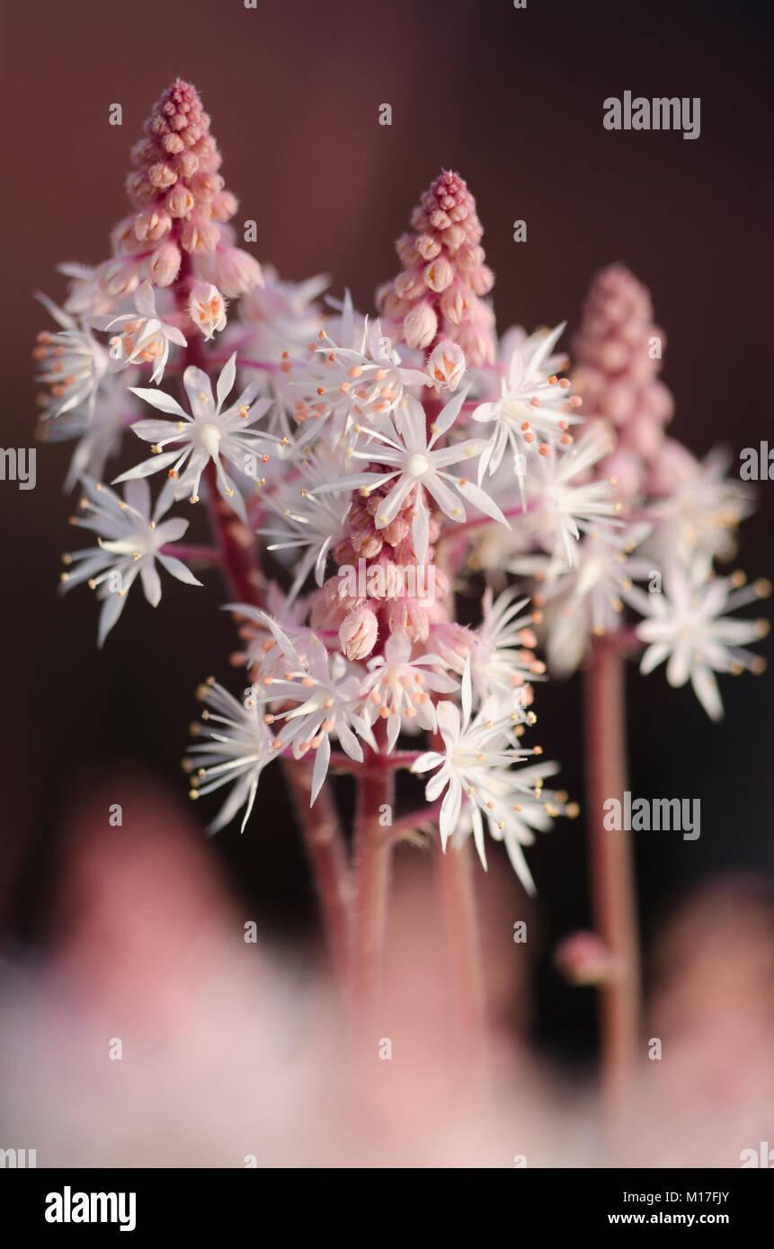 Tiarella Hybriden - Schaumblüte - Stock Image