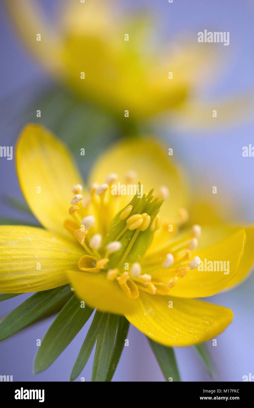 Eranthis hyemalis - Winterling - Stock Image