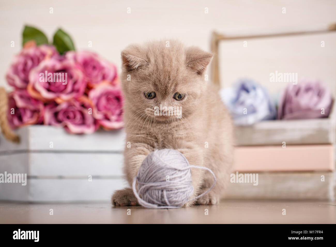 Scottish Fold Kitten playing with a tangle of threads. Wooden box ...