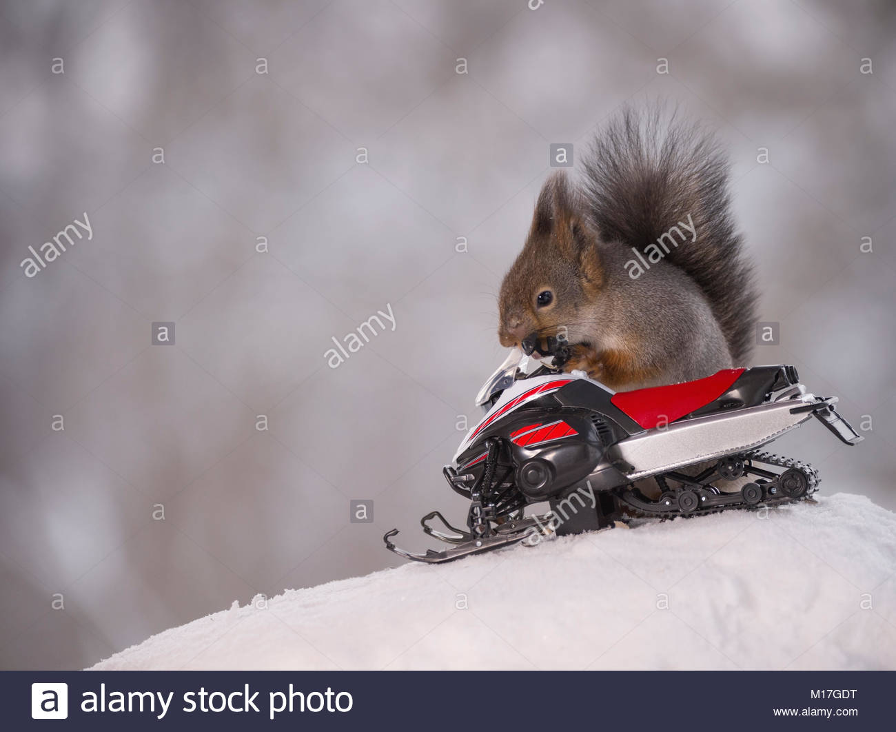 Red squirrel with a snowmobile - Stock Image
