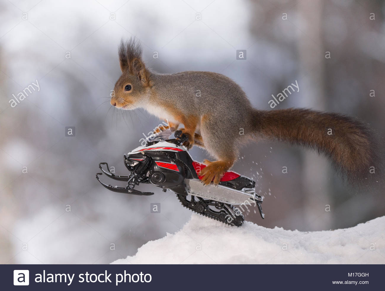 Red squirrel is jumping with  a snowmobile - Stock Image