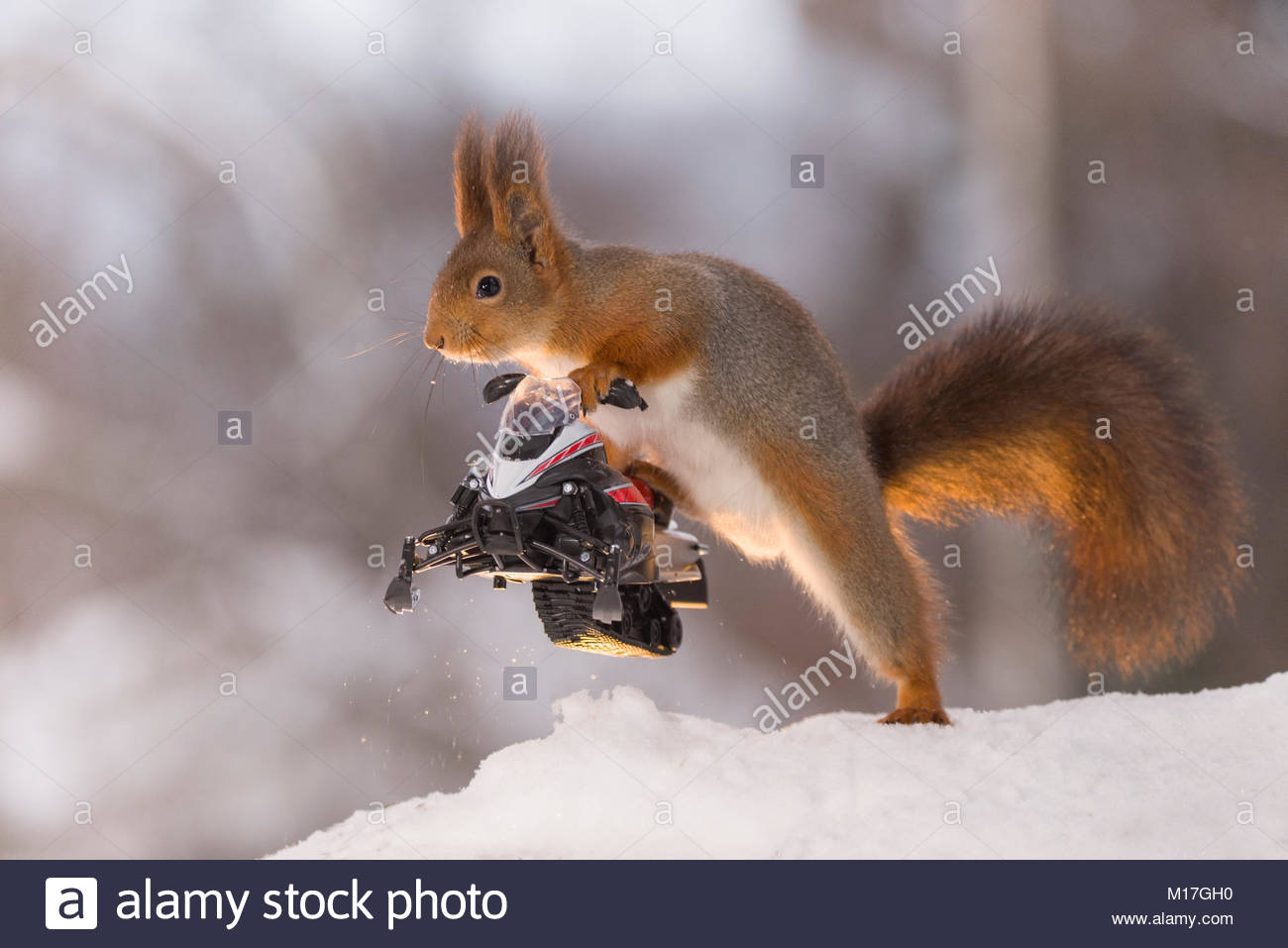 Red squirrel is holding a snowmobile - Stock Image