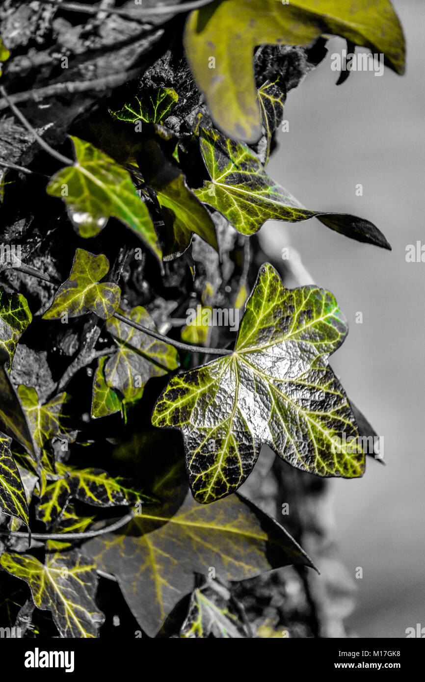 Ivy leaves growing on tree stump photo shop edited image green and grey - Stock Image