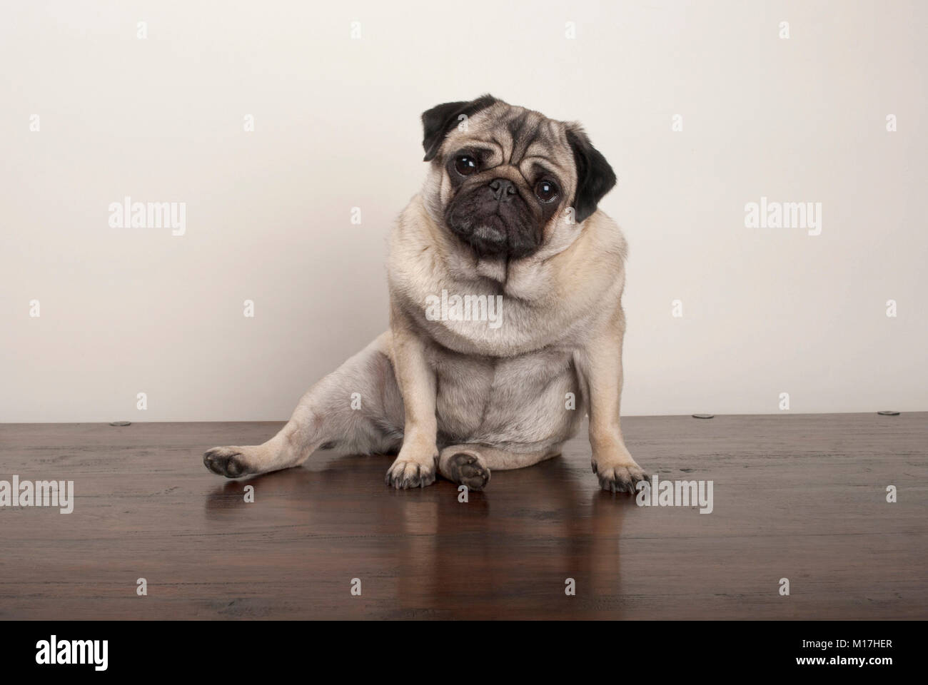 Sweet Funny Pug Puppy Dog Sitting Down On Wooden Ground On Plain Stock Photo Alamy
