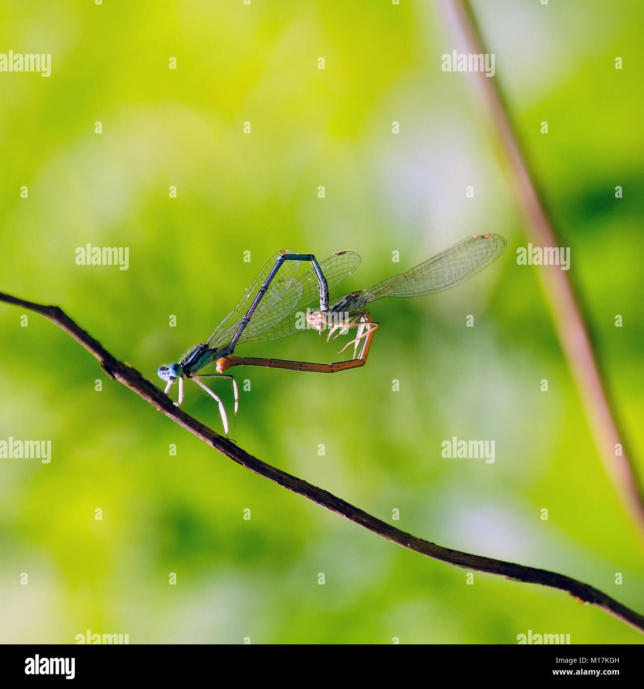 Two dragonflies (dainty bluet) formed a heart for Valentine's Day. - Stock Image