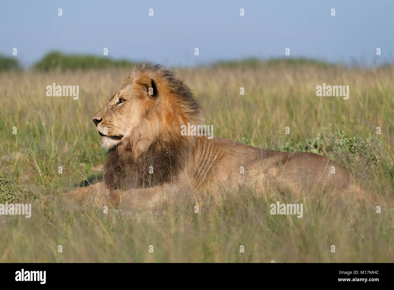 big male lion lying in long grass in Central kalahari Game Reserve in Botswana, looking for prey, looking around - Stock Image