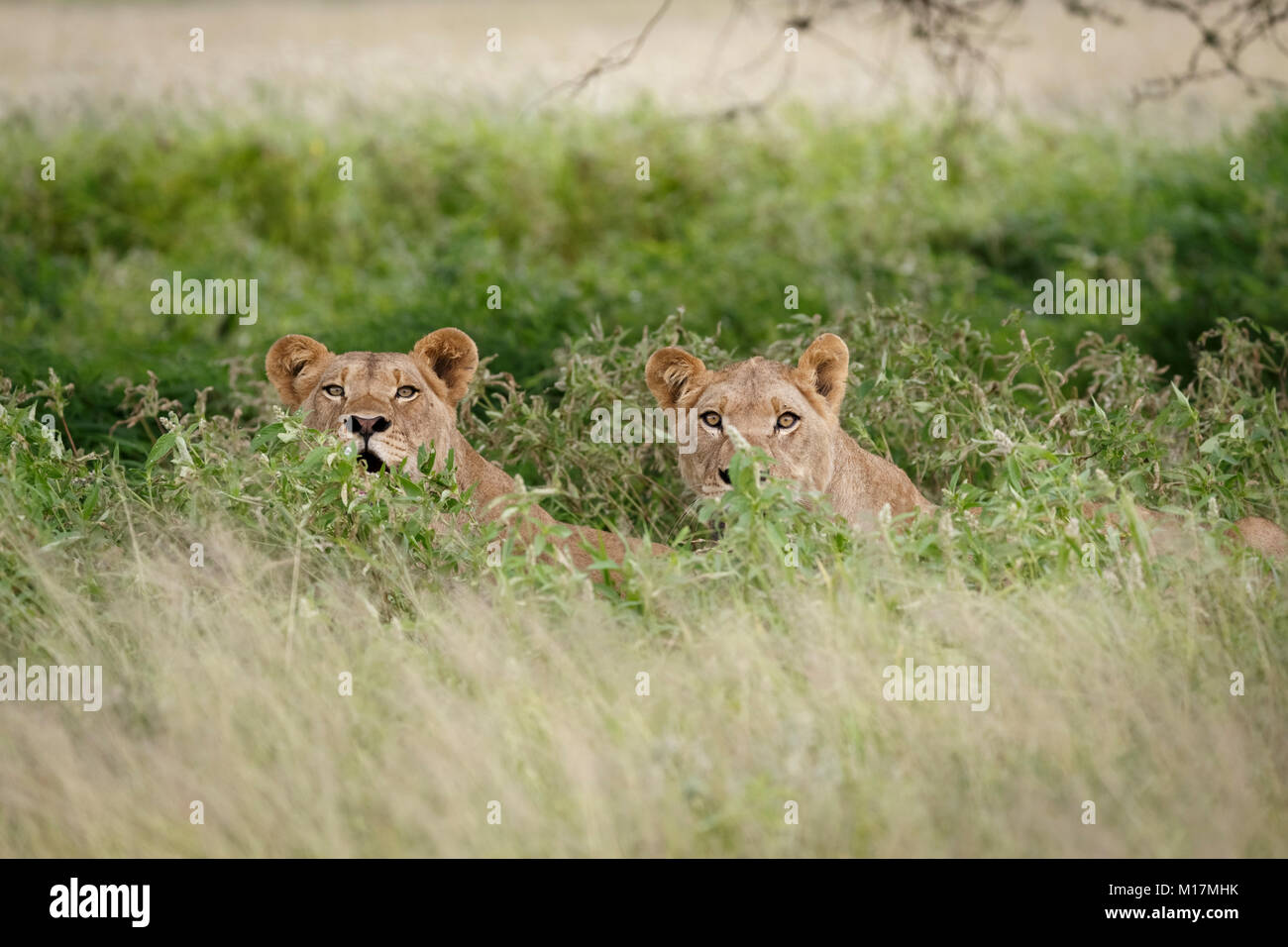 two lionesses hiding in long green grass while panting and staring in central kalahari game reserve in Botswana - Stock Photo
