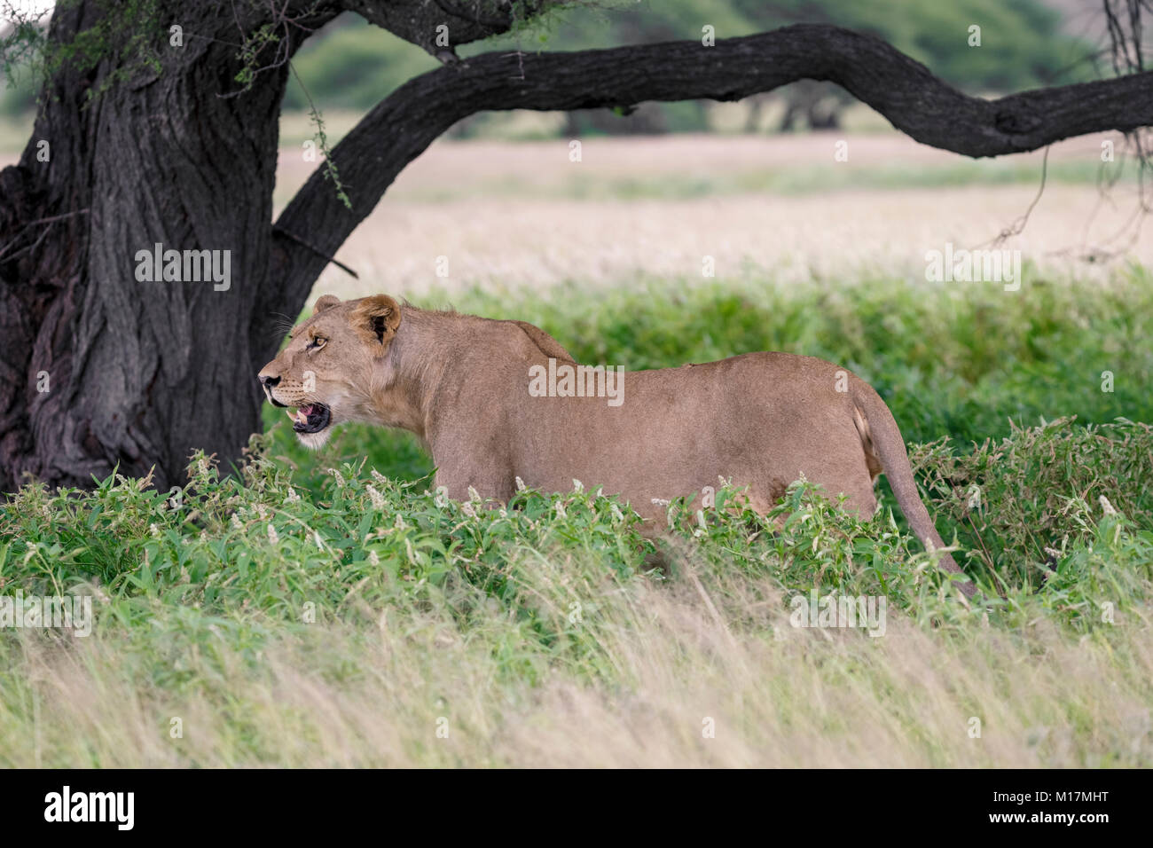 lioness standing in long green grass while panting and staring in central kalahari game reserve in Botswana - Stock Image