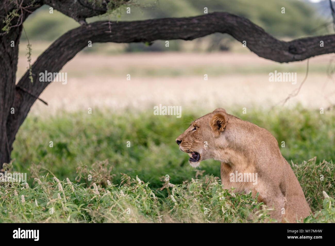 lioness hiding in long green grass while panting and staring in central kalahari game reserve in Botswana - Stock Image