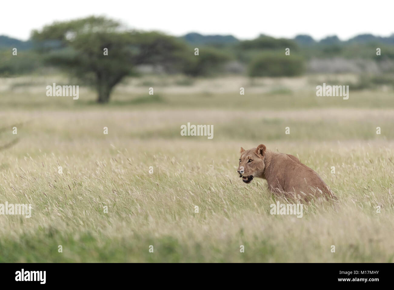 lioness sitting in long green grass while panting and staring in central kalahari game reserve in Botswana - Stock Image