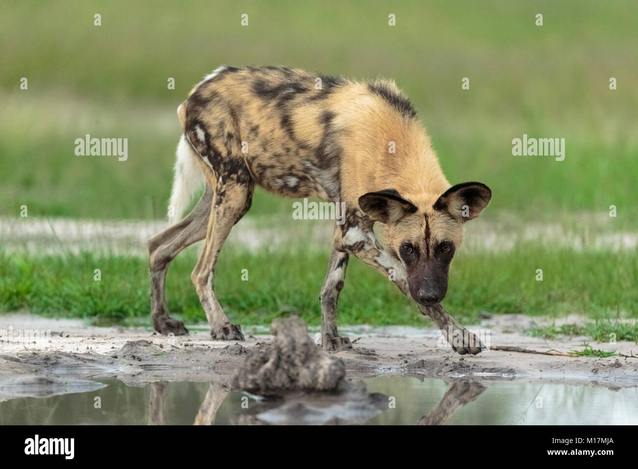 African Wild dog or painted dog walking head down facing camera along a puddle of water - Stock Image