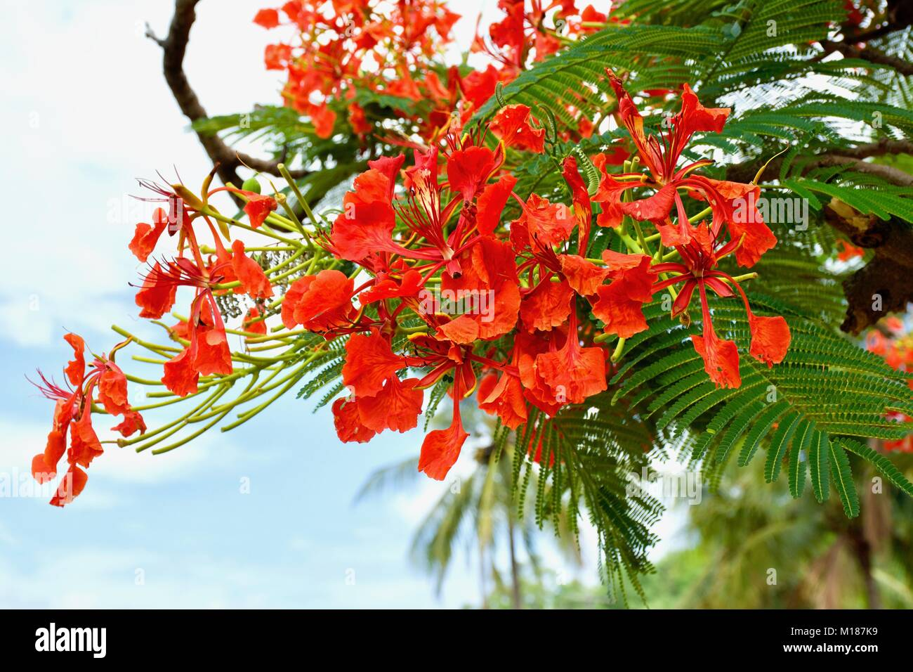 Delonix regia is a species of flowering tropical tree. Also called the Poinciana Tree it has soft leaves with brilliant - Stock Image