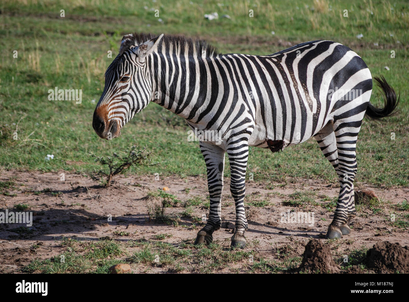 Zebra Masai Mara Kenya Africa - Stock Image