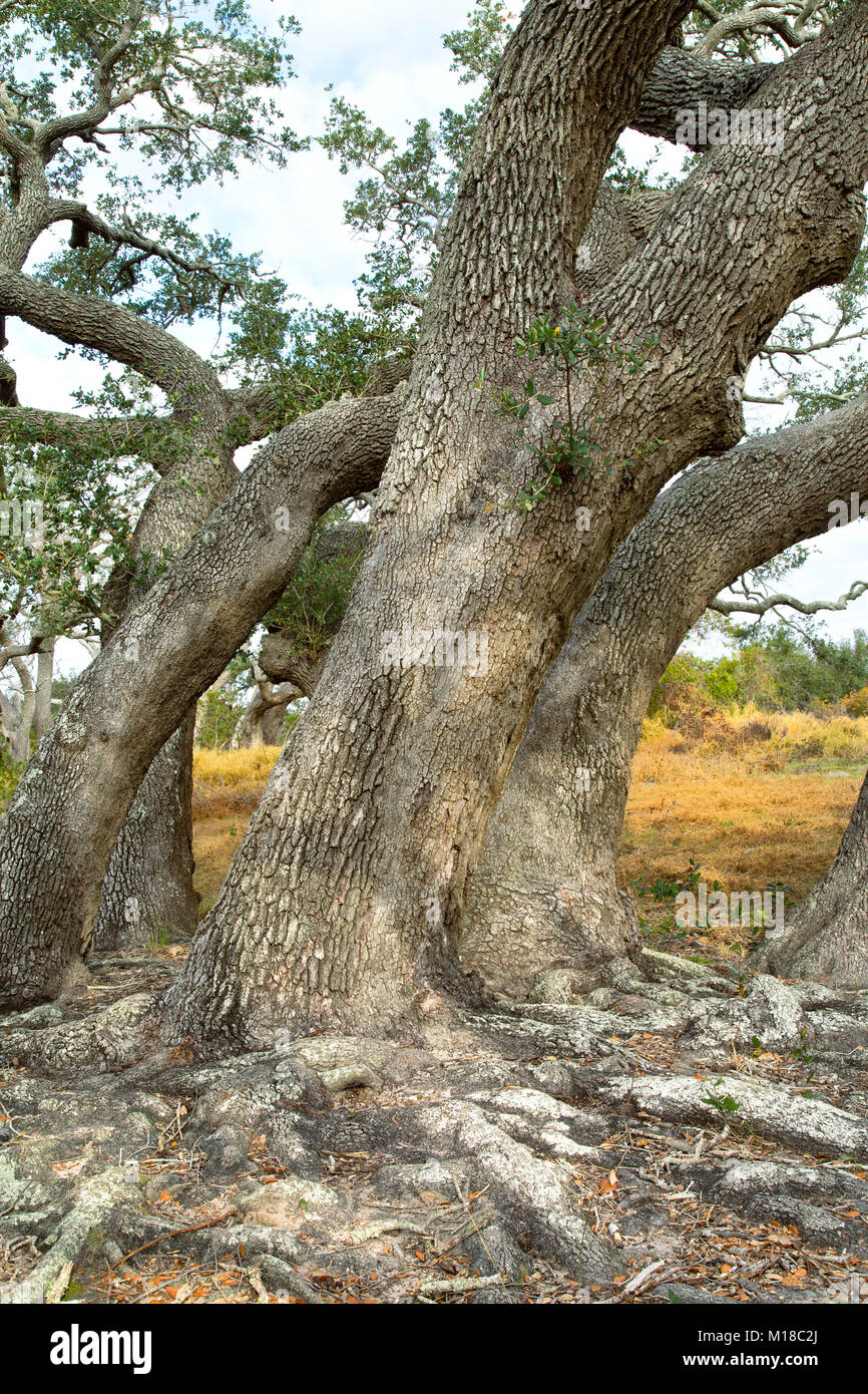 Southern Live Oak trees  'Quercus virginiana', Goose Island State Park. - Stock Image