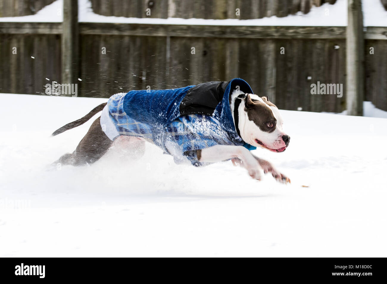 Staffordshire Terrier pit bull dog running and jumping through snow - Stock Image