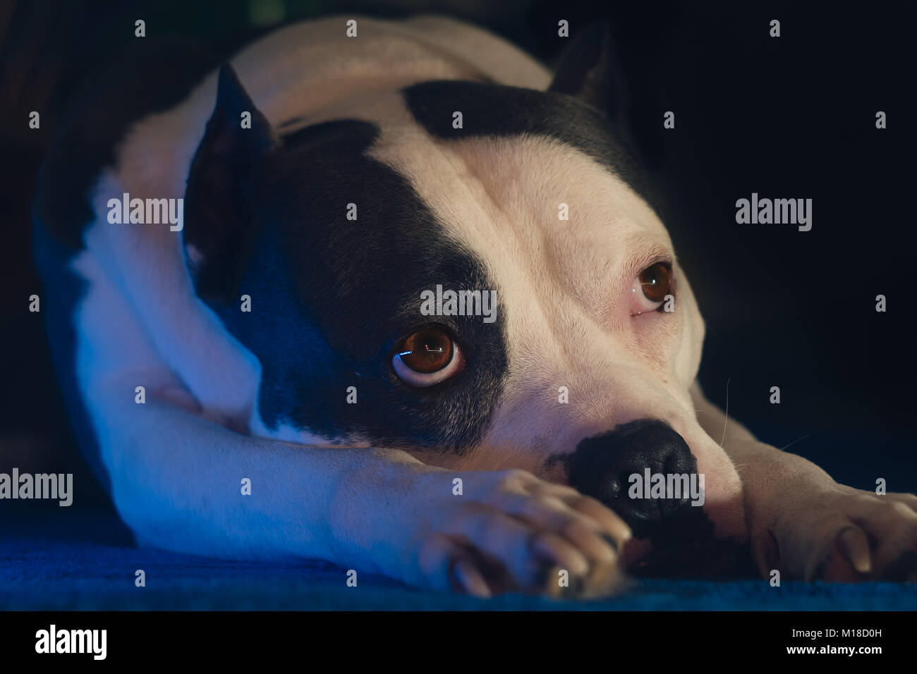 Staffordshire Terrier dog with sad eyes - Stock Image
