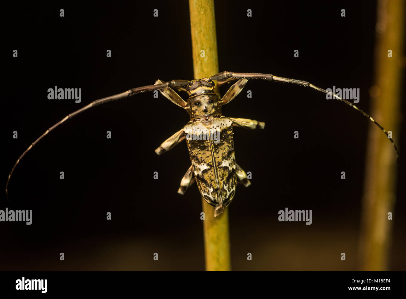 Some sort of long-horn beetle from the Amazon jungle. - Stock Image