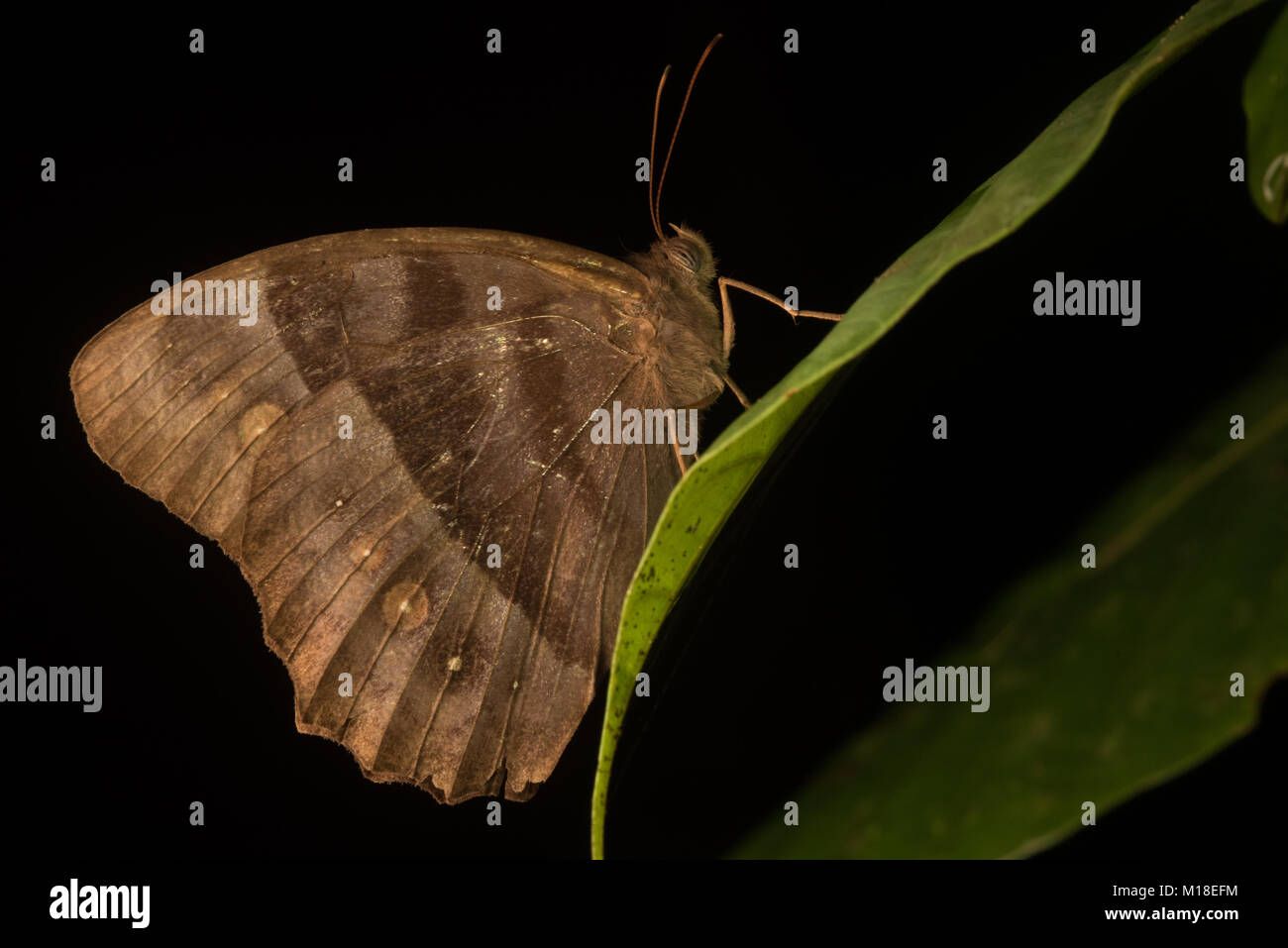 Some sort of lepidopteran sitting ontop of a leaf in the jungle of Colombia. - Stock Image