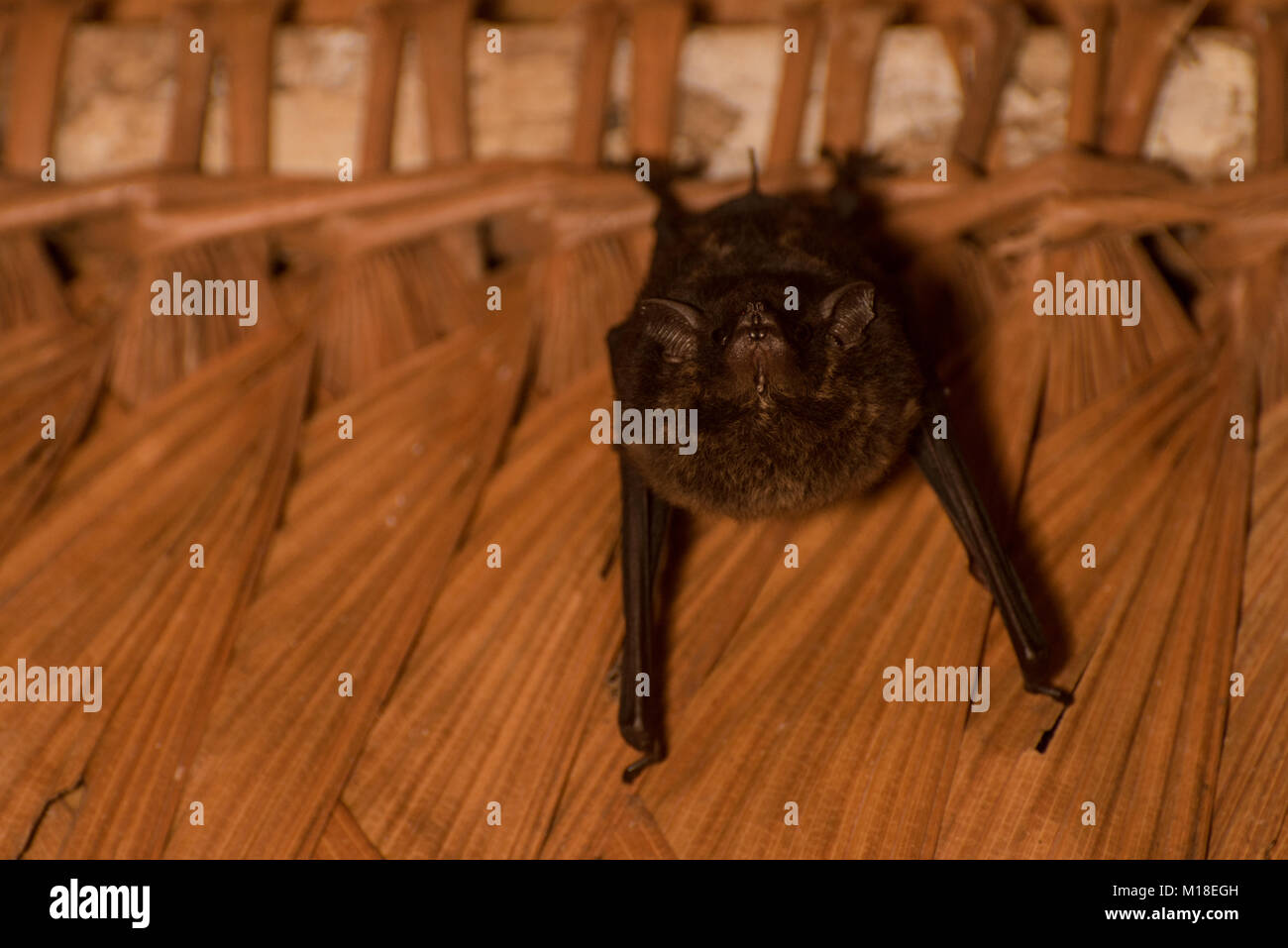A small sac-winged bat hanging from the ceiling in Colombia. - Stock Image