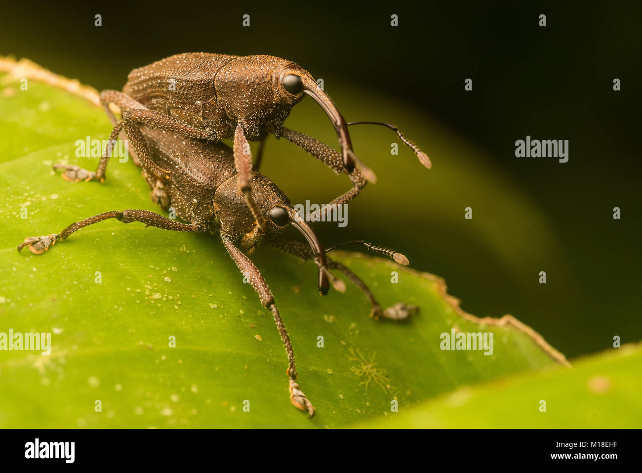 Two weevils mating in the Amazon Jungle. - Stock Image