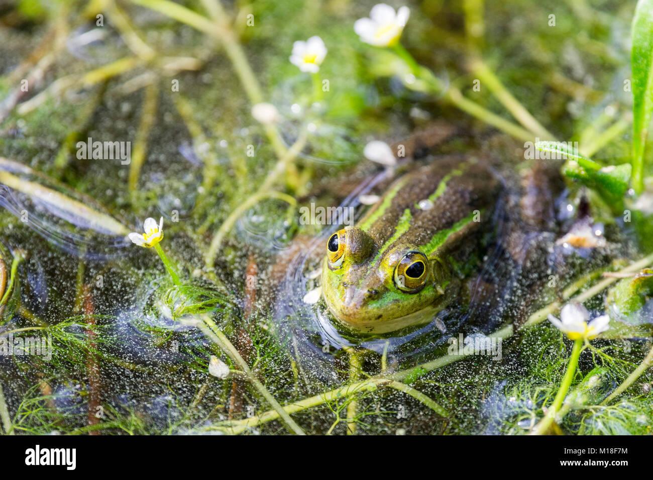 Green frog (Rana esculenta) between flowering aquatic plants,River water crowfoot (Ranunculus fluitans),Veneto,Italy - Stock Image