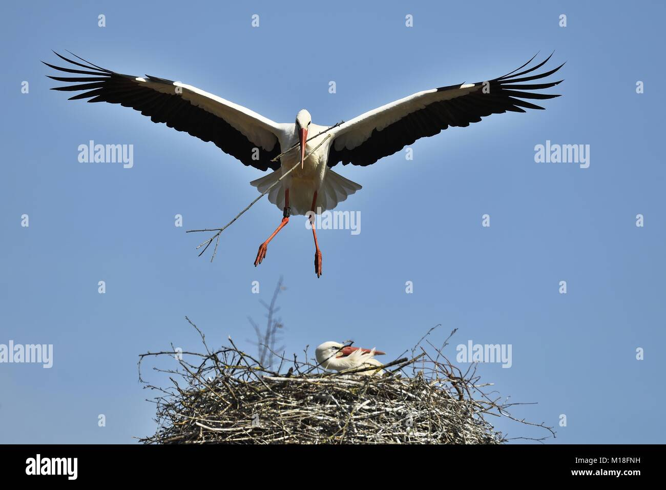 White storks (Ciconia ciconia),with nesting material approaching eyrie,Canton of Aargau,Switzerland - Stock Image