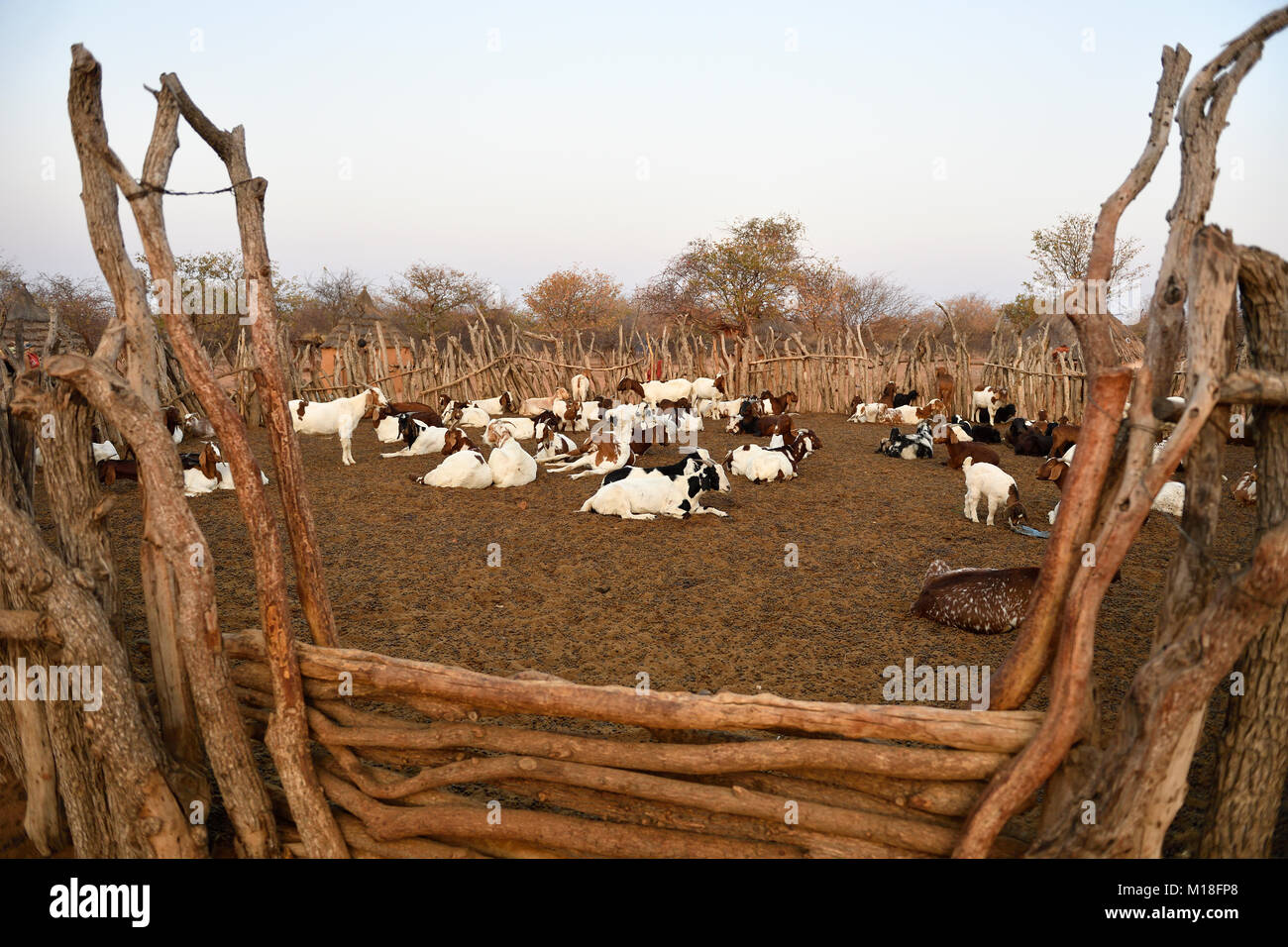 Goats in the Kral,Himba village,Kunene,Kaokoveld,Namibia - Stock Image
