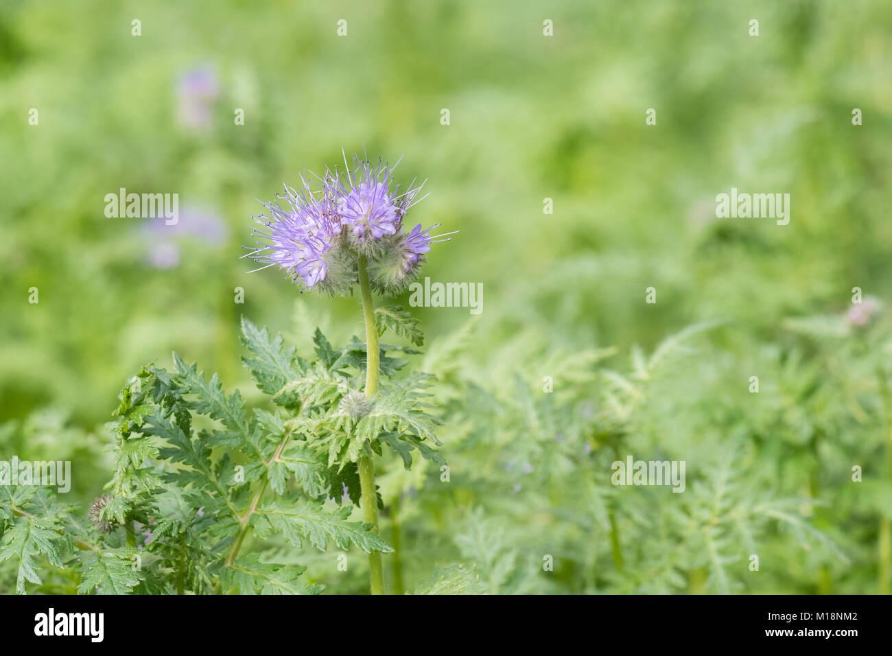 phacelia tanacetifolia - Scorpion Weed or Fiddleneck - growing in UK as green manure Stock Photo