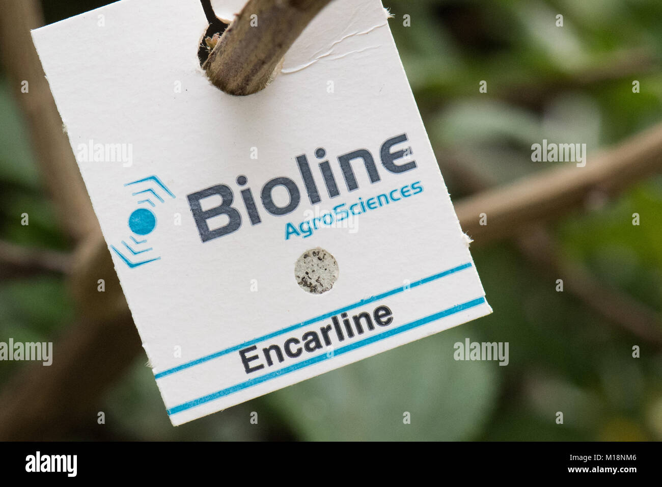 biological control in the greenhouse - Encarline card of a parasitoid wasp - Encarsia formosa used to control whitefly - Stock Image