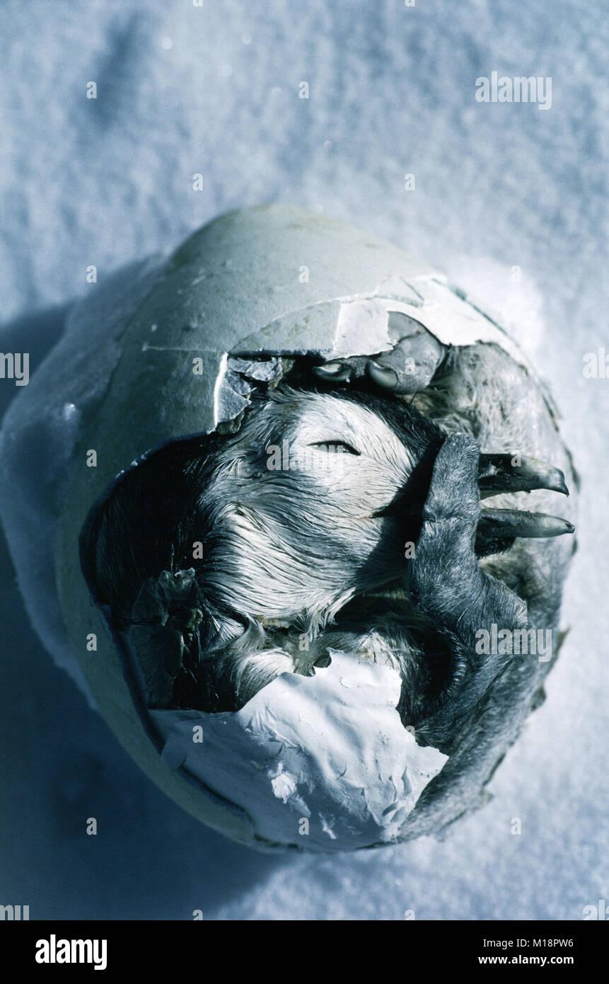 Frozen Emperor Penguin egg, Weddell Sea, Antarctica - Stock Image